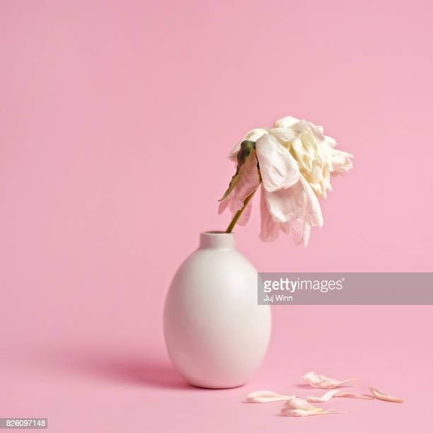 fading white flower in vase on pink background - tod stock-fotos und bilder