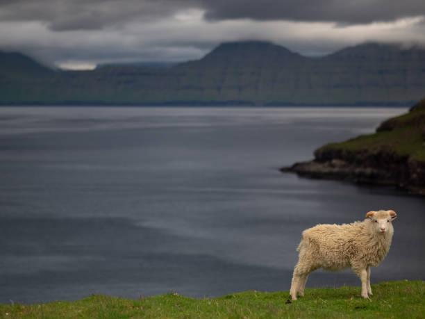 Faeroe Sheep standing by coast, Fuglafjordur, Faeroe islands