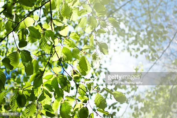 fagus sylvatica, beech tree in spring. - lucy shires stock pictures, royalty-free photos & images