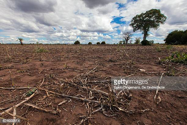 failed maize harvest in southern malawi - un food and agriculture organization stock pictures, royalty-free photos & images