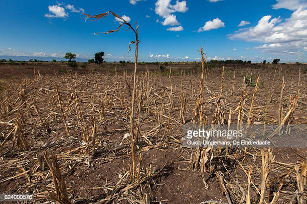 Failed maize harvest in southern Malawi