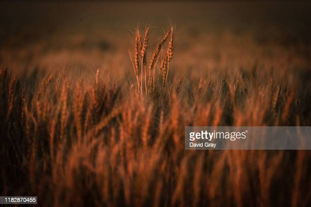 Failed wheat crop stands in a paddock on farmer Trevor Knapman's property located on the outskirts of the north-western New South Wales town of...
