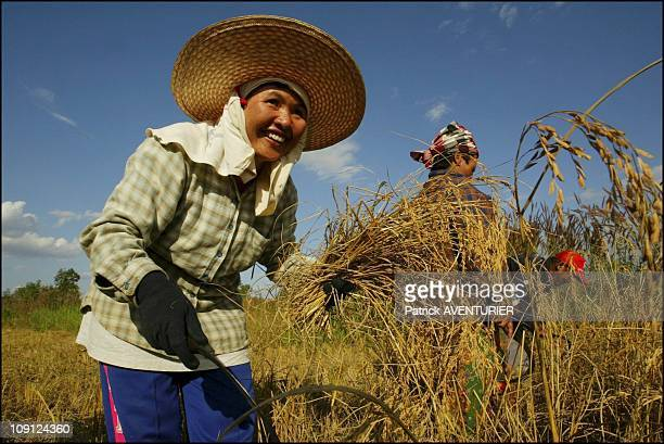 Fair Trade Max Havelaar Rice Harvest In Thailand On November 29 2004 In Thailand Rice Harvest In NorthEast Thailand