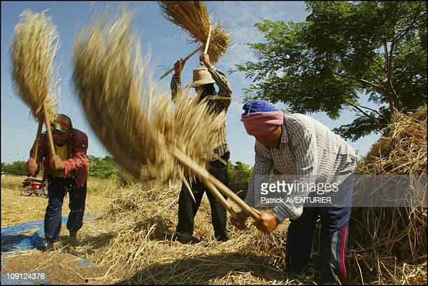Fair Trade Max Havelaar Rice Harvest In Thailand On November 29 2004 In Thailand Traditional Rice Threshing In Ban Phoem