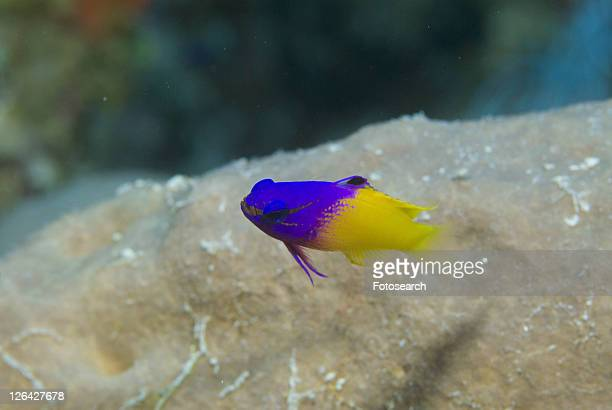 Fairy Basslet or Royal Gramma (Gramma loreto), superb yellow and purple colour, swimming past corals, turning towards camera, Cayman Islands, Caribbean