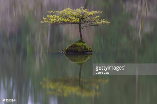 25 Fir Bonsai Photos And Premium High Res Pictures Getty Images