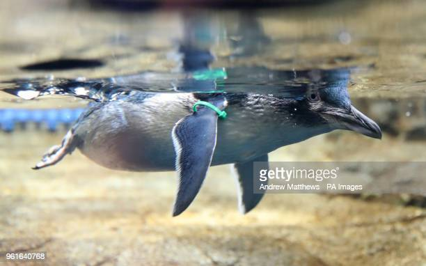 A fairy penguin also known as a little blue penguin in its new enclosure at the Weymouth Sea Life Adventure Park in Dorset ahead of its opening to...