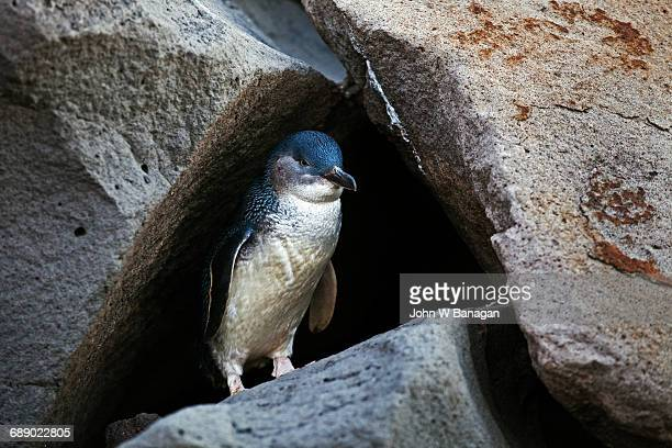 Fairy Penguin. St. Kilda, Melbourne
