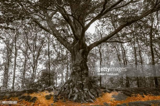 fairy tree - william mevissen 個照片及圖片檔