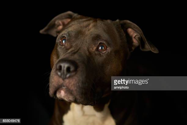 faithful dog black background - american staffordshire terrier stock photos and pictures