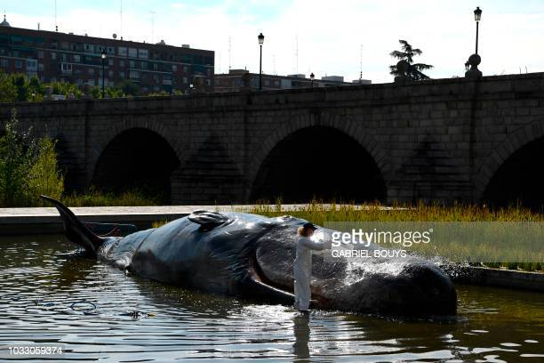 TOPSHOT A fake scientist pours water on a hyperrealist lifesize sculpture depicting an aground sperm whale in a pond along the Manzanares river...