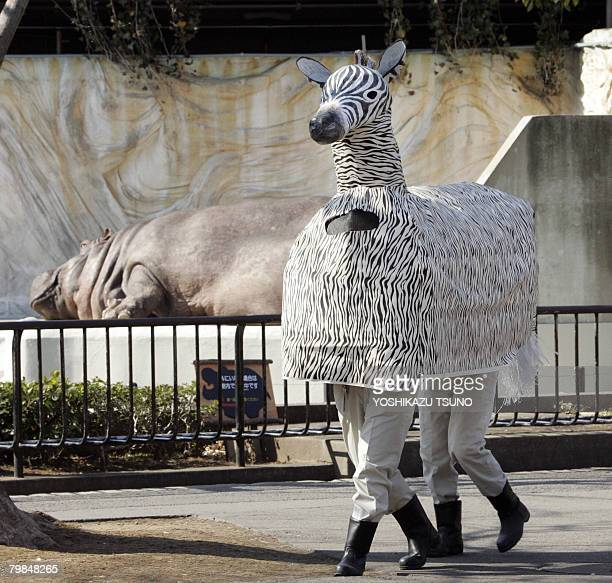 A fake zebra which made a break for freedum from its cage strolls in the zoo park while a hippopotamus naps in his cage during the annual exercise...