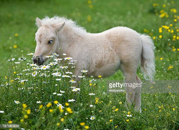 Falabella Foal Surrounded By Flowers