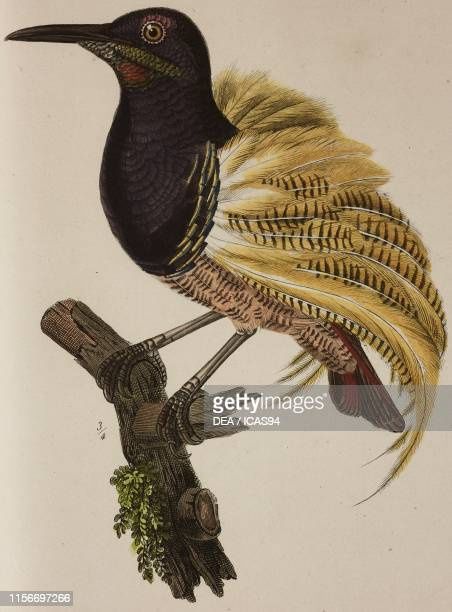 Falcinelle multifil , young male, colored engraving by Massard after an illustration by Oudart, Plate 38, from Histoire naturelle des oiseaux de...