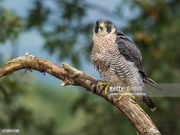 falco peregrinus. a peregrine falcon perched on a branch. - falco pellegrino foto e immagini stock