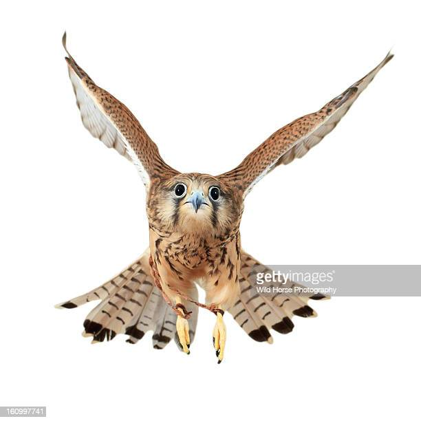 falco tinnunculus flying - falcon bird stock photos and pictures