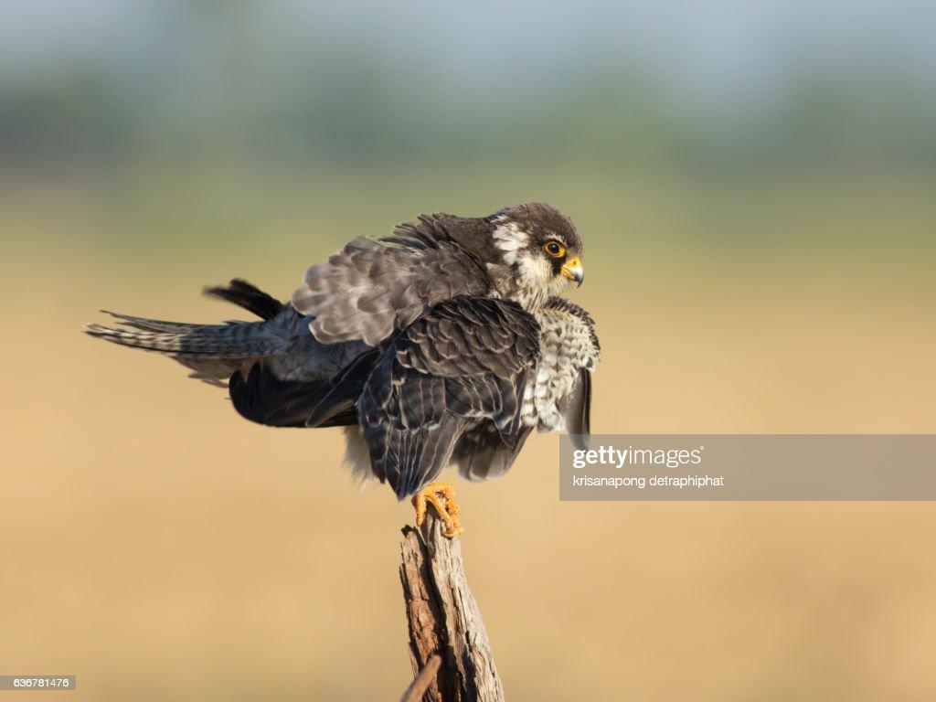Falcon ,Amur Falcon : Stock Photo