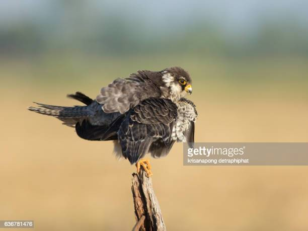 falcon ,amur falcon - eagle nest stock photos and pictures