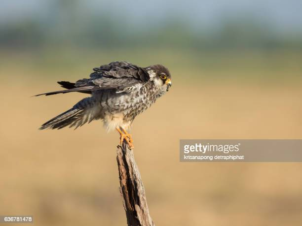 falcon ,amur falcon - hawk nest stock photos and pictures