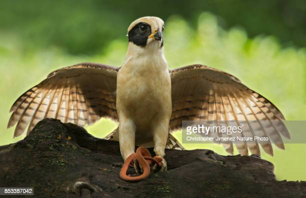 Falcon caching a snake