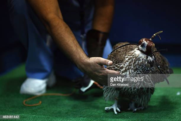 Falcon comes round after undergoing an anesthetic at the Abu Dhabi Falcon Hospital on February 3 2015 in Abu Dhabi United Arab Emirates The Abu Dhabi...