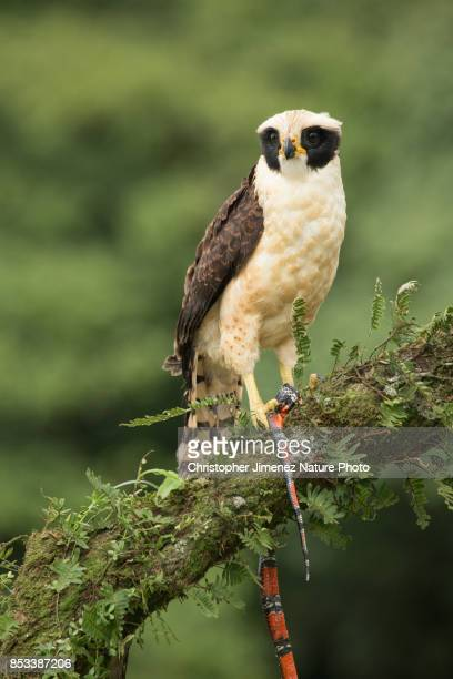 falcon eating a snake in the rain forest of costa rica - christopher jimenez nature photo stock pictures, royalty-free photos & images
