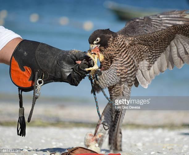 Falcon eats chicken