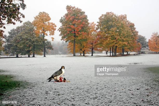 Falcon feeding on a duck during autumn