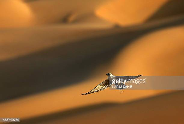 A falcon flies over the Liwa desert 220 kms west of Abu Dhabi on the sidelines of the Mazayin Dhafra Camel Festival on December 21 2013 The festival...