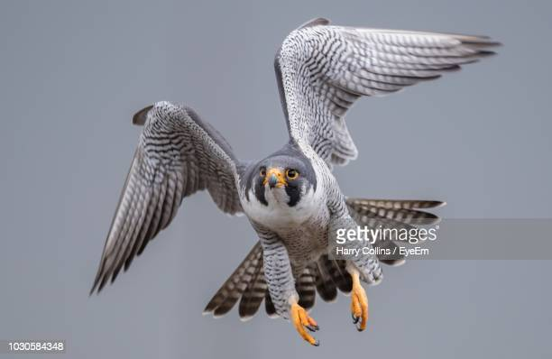 falcon flying against clear sky - hawk bird stock photos and pictures