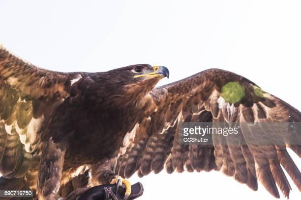 falcon, gawking at his prey - hawk imagens e fotografias de stock