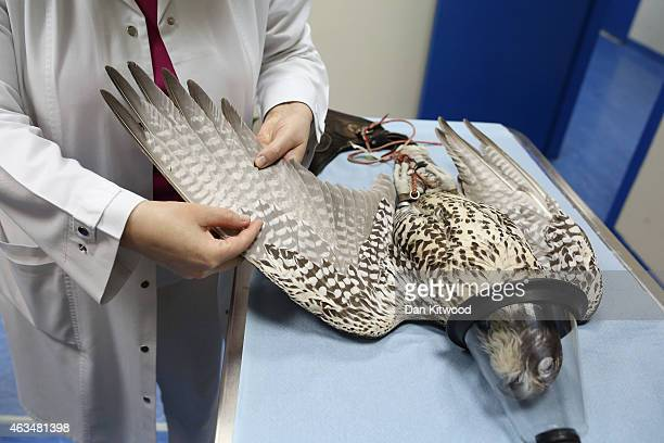 A falcon has it's feathers checked under anesthetic at the Abu Dhabi Falcon Hospital on February 3 2015 in Abu Dhabi United Arab Emirates The Abu...