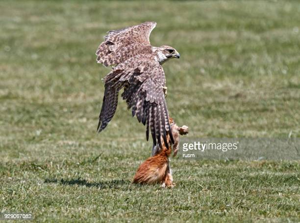 falcon hunting - peregrine falcon stock photos and pictures