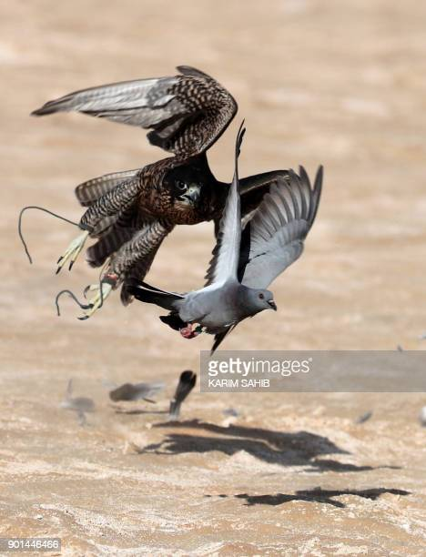 A falcon hunts a bustard bird in the Liwa desert some 250 kilometres west of the Gulf Emirate of Abu Dhabi during the Liwa 2018 Moreeb Dune Festival...