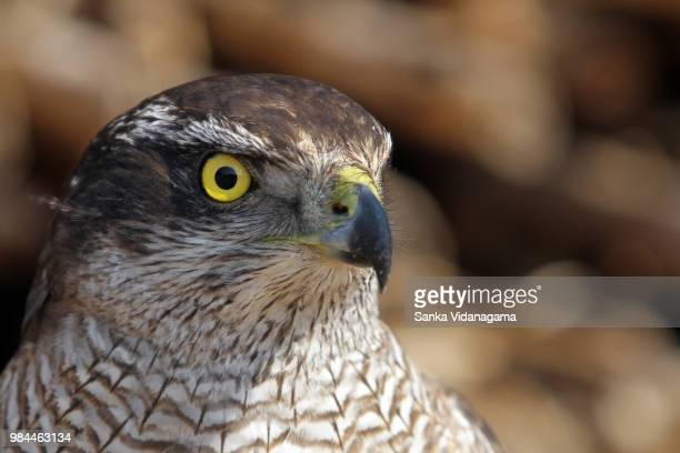 falcon in china - goshawk stock photos and pictures