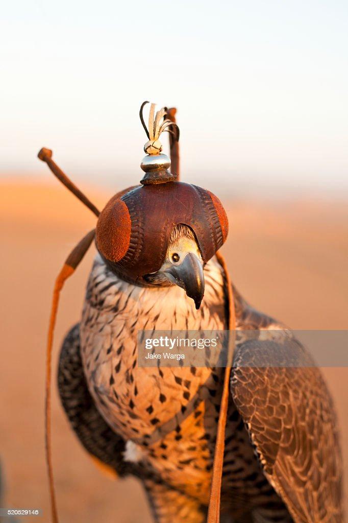 Falcon in Dubai desert reserve : Stock Photo