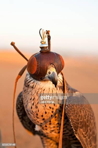 falcon in dubai desert reserve - jake warga stock photos and pictures