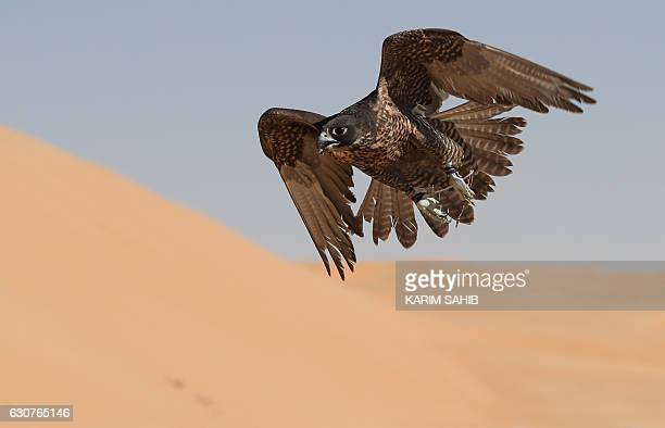 A falcon is being trained by a falconer on January 1 during the Liwa Moreeb Dune Festival in the Liwa desert some 250 kilometres southwest of Abu...