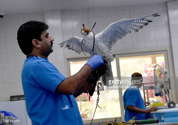 TOPSHOT A falcon is examined at the Abu Dhabi Falcon Hospital in the Emirati capital on January 27 2020 The Abu Dhabi facility is the world's largest...