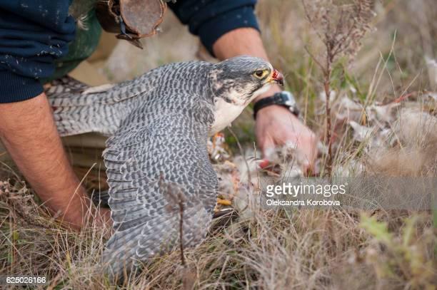 falcon on a duck hunt. - istock stock-fotos und bilder