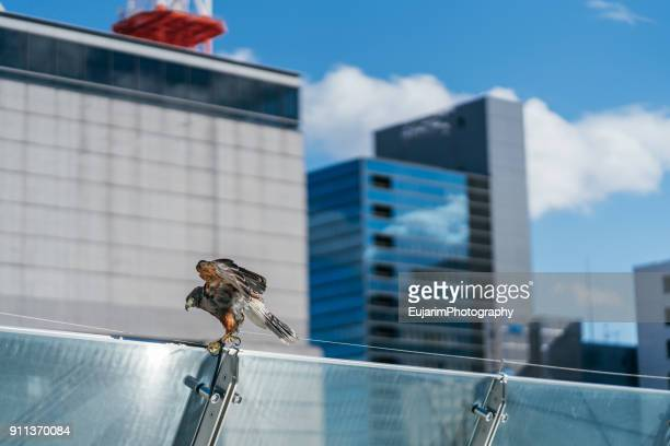 Falcon on the top of building in the central district of Nagoya