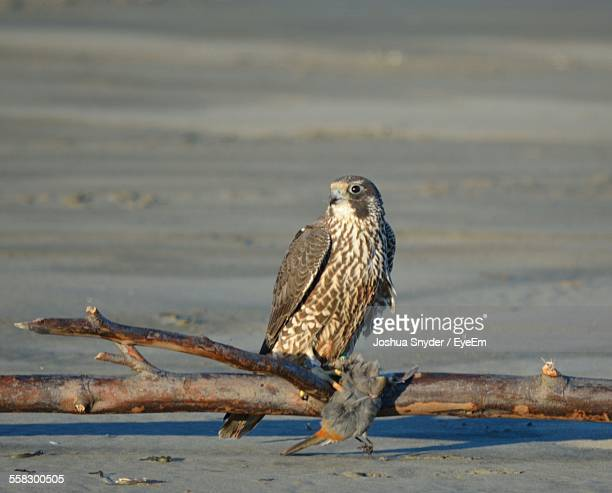 Falcon Perching On Branch