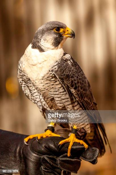 Falcon perching on hand