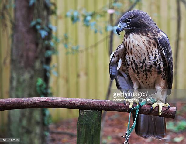 falcon perching on wood - tallahassee stock pictures, royalty-free photos & images