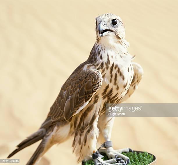 falcon - hugh sitton - fotografias e filmes do acervo