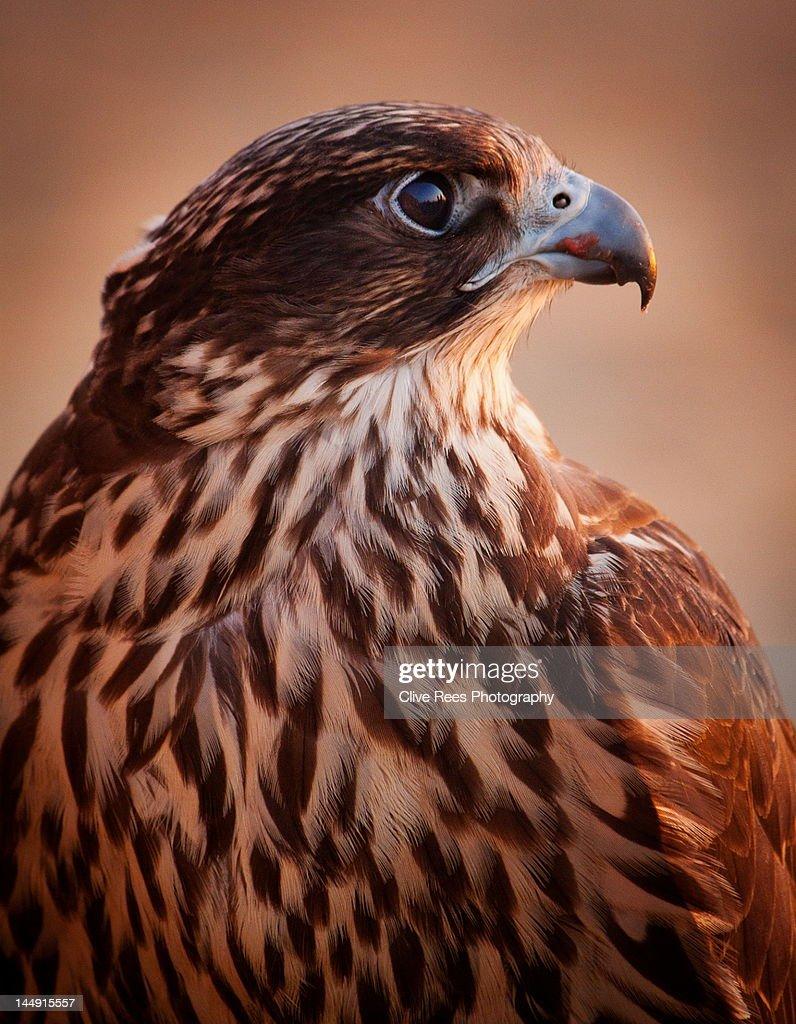 Falcon profile : Stock Photo