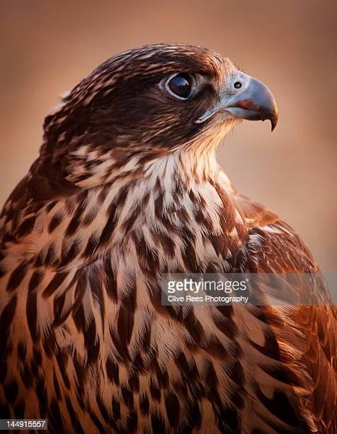 Falcon profile
