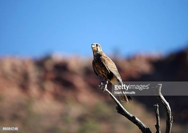 Falcon sits on a branch at the Alice Springs Desert Park on August 3 2009 in Alice Springs Australia The commemorative trip from Adelaide to Darwin...