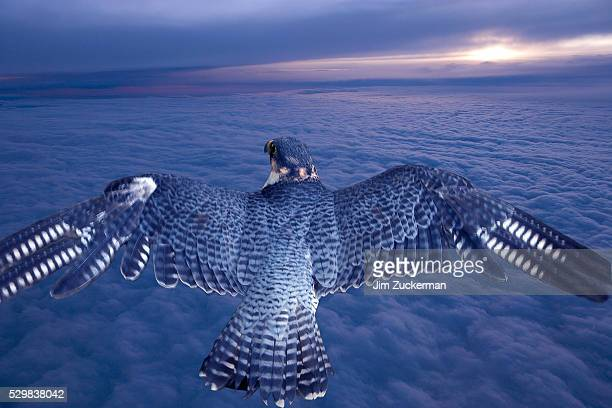 Falcon Soaring Over Clouds