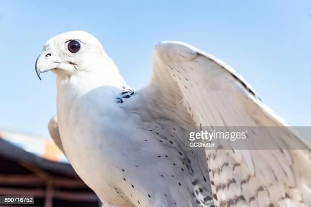 Falke, der Bird Of Prey